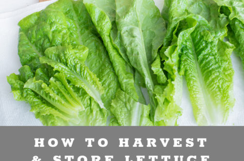 How to harvest, wash & store lettuce from your garden